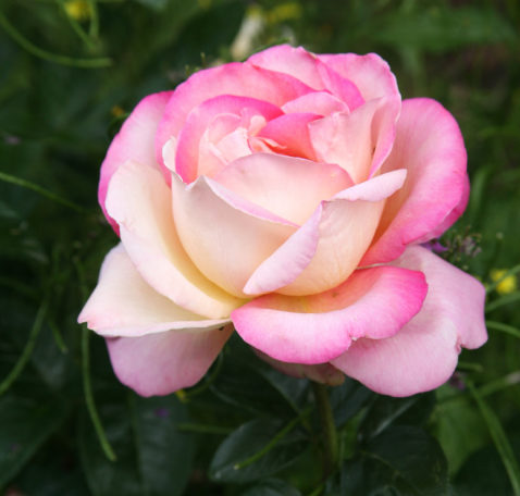 a white, yellow, and pink rose is in bloom