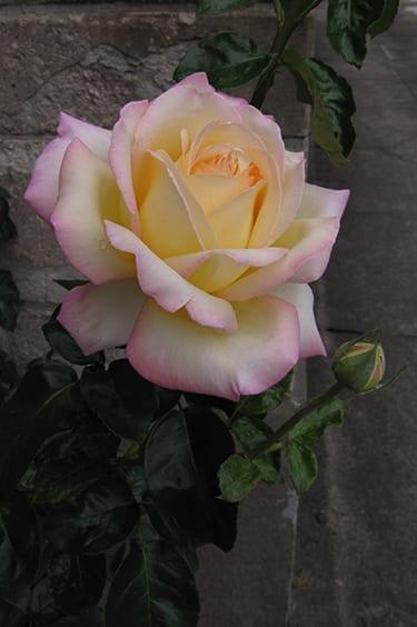 pink-rose-web